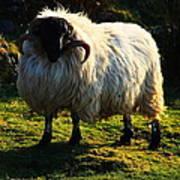 Black Faced Mountain Sheep Art Print