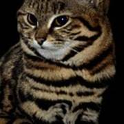 Black-footed Cat Art Print