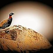 Black Francolin Art Print