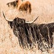 Black Highland Cow Art Print
