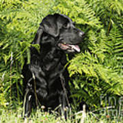 Black Labrador Dog Art Print