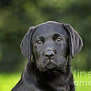 Black Labrador Puppy Art Print