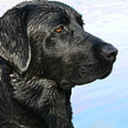 Black Labrador Retriever After The Swim Art Print