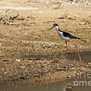 Black-necked Stilt Art Print by Robert Bales