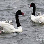 Black Necked Swans Patagonia 1 Art Print
