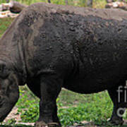 Black Rhino-19 Art Print