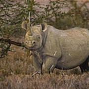 Black Rhino Tanzania Art Print