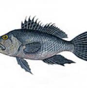 Black Sea Bass 3 Art Print