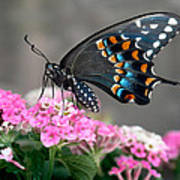 Black Swallowtail Butterfly Art Print