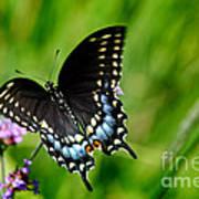 Black Swallowtail Butterfly In Garden Art Print