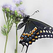 Black Swallowtail II Art Print