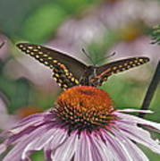 Black Swallowtail On Cone Flower Art Print