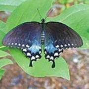 Black Swallowtail On Tulip Poplar Art Print