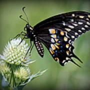 Black Swallowtail Vignette Art Print