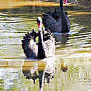 Black Swan 1 Art Print