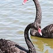Black Swan Pair Art Print