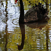 Black Swan Series Iv Art Print