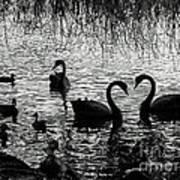 Black Swan Silhouette Art Print