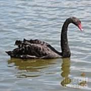 Black Swan Square Art Print
