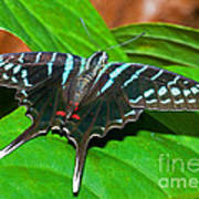 Black Swordtail Butterfly Art Print
