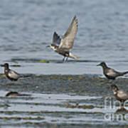 Black Terns Art Print