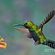 Black-throated Brilliant Art Print