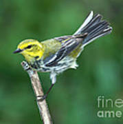 Black-throated Green Warbler, Female Art Print