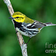 Black-throated Green Warbler, Male Art Print