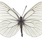 Black-veined White Butterfly Art Print