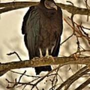 Black Vulture 1 Art Print