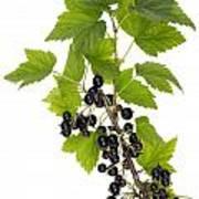 Black Wild Forest Berries Art Print