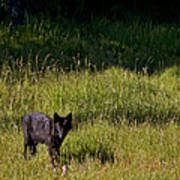 Black Wolf   7251 Art Print