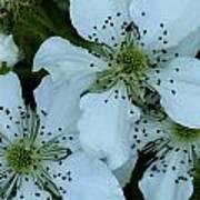 Blackberry Blossoms Art Print