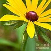 Blackeyed Susan Art Print