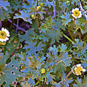 White Wooly Daisies On Borrego Palm Canyon Trail In Anza-borrego Desert State Park-ca Art Print