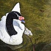 Blacknecked Swan Art Print