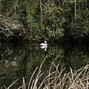 Blackwater River Pelican Art Print