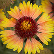 Blanket Flower Art Print