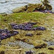 Blanket Of Seastars Art Print