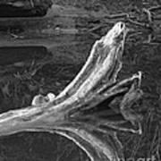 Bleached Log 1 Art Print