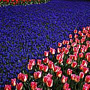 Blend Of Tulips Art Print