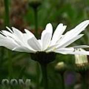 Bloom White Daisy Art Print