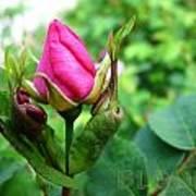 Bloom Wild Rose Bud Art Print