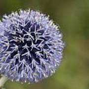 Bloomed Blue Art Print