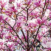 Blooming Magnolia Art Print by Elena Elisseeva