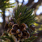 Blooming Pinecone Art Print