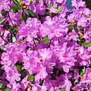 Blooming Pink Azaleas Art Print