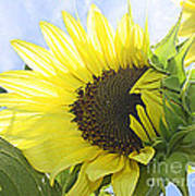 Blooming Sunflower Art Print