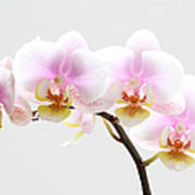 Blooms On White Art Print by Juergen Roth