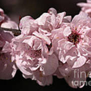 Blossom In Pink Art Print